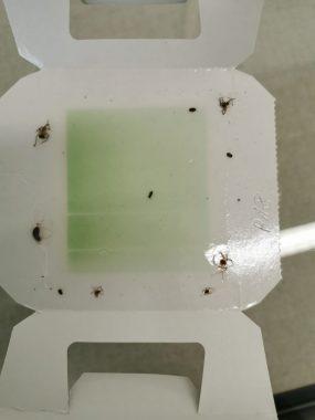 Insektenkleebefalle mit wenigen Insekten